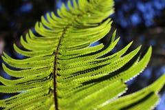 Sword fern details Stock Photo