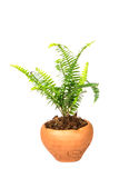 Sword Fern or Fishbone Fern in flower pot on white background Stock Photo