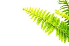 Sword Fern or Fishbone Fern on white background Stock Images