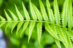 Sword Fern Royalty Free Stock Image