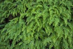 Sword ferns. Many sword ferns, Polystichum munitum, growing together Stock Photo