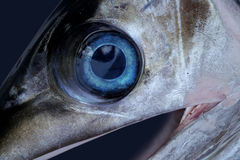 Sword fish eye. Clean blue eye of a freshly caught Royalty Free Stock Photography