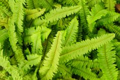 Sword or fishbone fern leaf fresh green background. And detail texture royalty free stock image