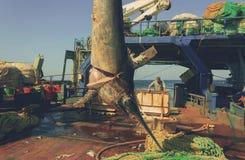 Swordfish broadbills gladius Royalty Free Stock Photos