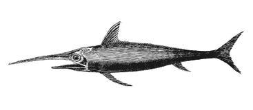 Swordfish Stock Images
