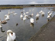 Swords estuary. In Ireland. Swans, ducks and birds on the river stock photography
