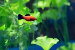 Swordsman рыб аквариума Стоковые Изображения