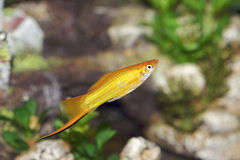 Swordtail 703937 Fotografie Stock
