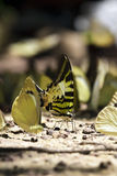Swordtail Basisrecheneinheit lizenzfreies stockbild