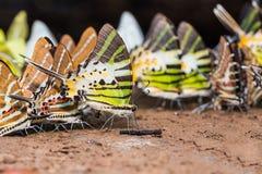 Swordtail butterflies Stock Photography
