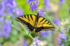 Swordtail Butterfly. On some purple flowers Stock Photography