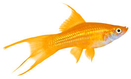 Swordtail Fish. Isolated in white background royalty free stock photo