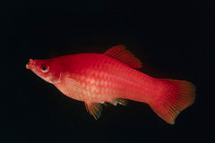 Swordtail red color females in the dark Stock Images