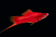 Swordtail red color males in the dark stock photos