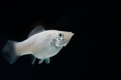 Swordtail white color females in the dark Royalty Free Stock Images