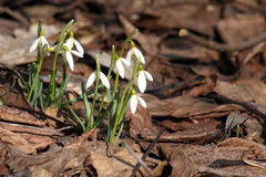 Swowdrops. Snowdrops, the first sign for spring stock photo