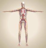 人的(男性)循环系统,神经系统和淋巴sy 库存图片