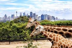 Sy CBD Taronga 2 Giraffen Lizenzfreie Stockfotos