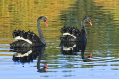 Sy Centennial 2 Black Swans Royalty Free Stock Photography