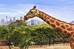 Sy 1 Giraffe Head CBD Royalty Free Stock Photography