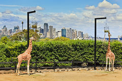 Sy 2 Giraffes City Stock Photos
