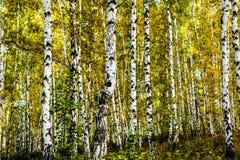 Syberia, Irkutsk, jesieni brzozy gaj Zdjęcia Stock