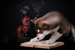 syberian爱斯基摩逗人喜爱的小的小狗  免版税库存图片