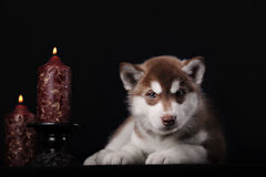 syberian爱斯基摩逗人喜爱的小的小狗  免版税库存照片