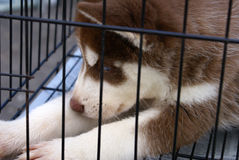 Syberian Husky. A Syberian Husky in a cage Royalty Free Stock Photo