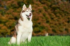 Syberian husky dog at autumn Stock Photo