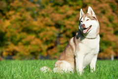 Syberian husky dog at autumn Royalty Free Stock Photography