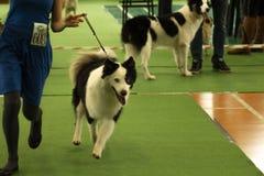 Syberian Husky Photo da exposição de cães nacional no ³ r Mazowiecki de Nowy Dwà no Polônia imagens de stock