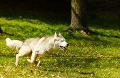 Syberian Husky running on grass Stock Photos