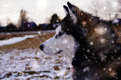 Syberian skrovlig syberian layka Royaltyfria Bilder