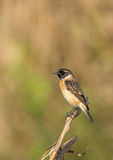 Syberian Stonechat with green brown background. Syberian stonechat perched on a small dry plant Royalty Free Stock Images