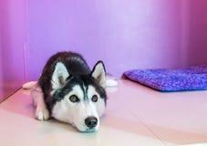 syberien лайка в комнате Стоковое Фото