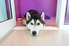 syberien husky in room Stock Images