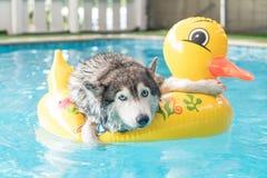 syberien la natation enrouée dans la piscine avec l'anneau de bain photos stock