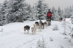 Syberyjscy husky dogsled na śladzie Obrazy Royalty Free