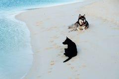 Syberyjscy husky na plaży Fotografia Royalty Free