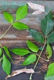 Syberyjscy liście klonowi na drewnianej powierzchni Obrazy Royalty Free
