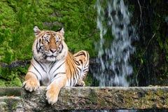 Syberyjscy tygrysy są odpoczynkowi na kamieniu obraz stock