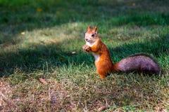 Syberyjska czerwona wiewiórka Zdjęcie Stock