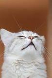 Syberyjska figlarka Zdjęcie Royalty Free