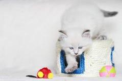 Syberyjska figlarka, neva maskaradowa wersja, szczeniak Fotografia Royalty Free