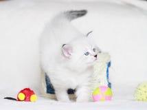 Syberyjska figlarka, neva maskaradowa wersja, szczeniak Zdjęcia Royalty Free