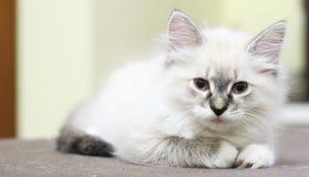 Syberyjska figlarka, neva maskaradowa wersja, szczeniak Zdjęcie Royalty Free