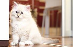 Syberyjska figlarka, neva maskaradowa wersja, szczeniak Obrazy Royalty Free