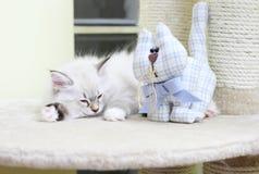 Syberyjska figlarka, neva maskaradowa wersja, szczeniak Zdjęcie Stock