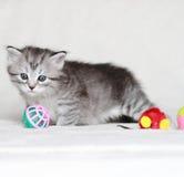 Syberyjska figlarka, srebna wersja, szczeniak Zdjęcia Stock